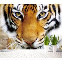 tigrisfej
